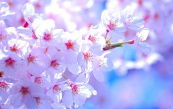 熊本で、380本の桜の名所といえば?