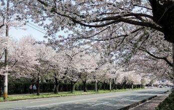 【熊本市東区】おすすめの桜お花見スポット!2019年版